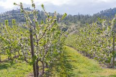 Reihen von Obstgartenbäumen in der Blüte mit Bergen im Hintergrund lizenzfreies stockbild