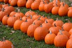 Reihen von orange Kürbisen auf einem Gebiet Stockfoto