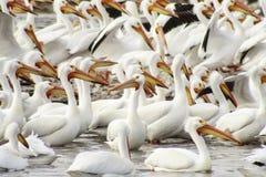 Reihen von Pelikanen Stockfotografie