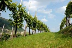 Reihen von Reben in den Hügeln von Prosecco Stockfotografie