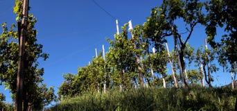 Reihen von Reben in den Hügeln von Prosecco Lizenzfreie Stockfotos