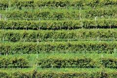 Reihen von Reben in den Hügeln von Prosecco, Italien Stockbilder