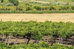 Reihen von Reben in Sizilien, Italien Stockfotos