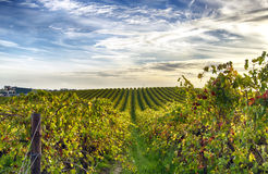 Reihen von Reben am Weinberg in McLaren-Tal, Süd-Australien Stockfotos