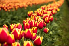 Reihen von Rot-und Gelb-Feld-Tulpen Stockfotos