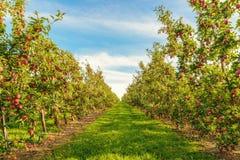 Reihen von roten Apfelbäumen Lizenzfreies Stockfoto