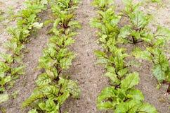 Reihen von roten Rüben im organischen Gemüsegarten. Stockbild