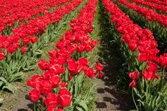 Reihen von roten Tulpen lizenzfreies stockfoto