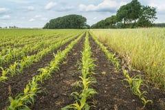 Reihen von Silage mais und ein Feld umranden mit wilden Blumen Stockfotografie