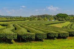 Reihen von Teebäumen im Tal am chinesischen Tee bewirtschaften Schönes Feld des grünen Tees im Tal unter blauem Himmel und weißer Stockfotografie