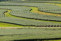 Reihen von Teebäumen im Tal am chinesischen Tee bewirtschaften Schönes Feld des grünen Tees im Tal unter blauem Himmel und weißer Lizenzfreies Stockfoto