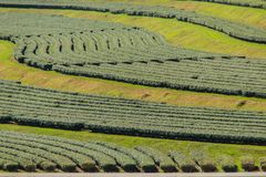 Reihen von Teebäumen im Tal am chinesischen Tee bewirtschaften Schönes Feld des grünen Tees im Tal unter blauem Himmel und weißer Lizenzfreie Stockfotos