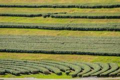 Reihen von Teebäumen im Tal am chinesischen Tee bewirtschaften Schönes Feld des grünen Tees im Tal unter blauem Himmel und weißer Stockfotos
