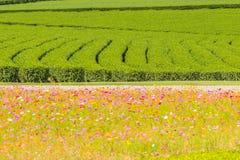 Reihen von Teebäumen im Tal am chinesischen Tee bewirtschaften Schönes Feld des grünen Tees im Tal unter blauem Himmel und weißer Lizenzfreies Stockbild