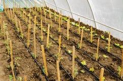 Reihen von Tomaten- und Salatanlagen Stockfoto
