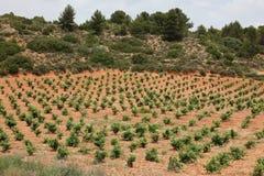 Reihen von Trauben in einem Weinberg Lizenzfreie Stockfotografie
