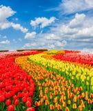 Reihen von Tulpenblumen stockfotografie