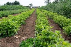 Reihen von wachsenden Anlagen am Bauernhof stockfoto