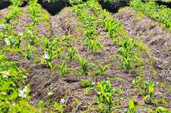 Reihen von wachsenden landwirtschaftlichen Kulturen Lizenzfreies Stockfoto