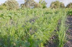 Reihen von wachsenden Zwiebeln und von Karotten der abstrakte Hintergrund der grünen Vegetation Lizenzfreies Stockbild