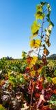 Reihen von Weinreben auf einem Gebiet stockfoto