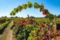 Reihen von Weinreben auf einem Gebiet stockbilder