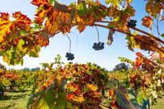 Reihen von Weinreben auf einem Gebiet stockfotografie