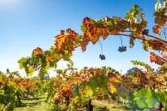 Reihen von Weinreben auf einem Gebiet lizenzfreies stockfoto