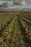 Reihen von Weinstöcken auf einem Weinberg im November Lizenzfreies Stockfoto
