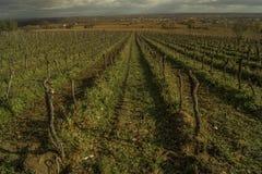 Reihen von Weinstöcken auf einem Weinberg im November Lizenzfreie Stockfotos
