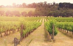 Reihen von Weinstöcken mit Sonnenaufgang des frühen Morgens Stockbilder
