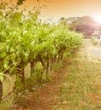 Reihen von Weinstöcken - Weinlese Lizenzfreie Stockfotos