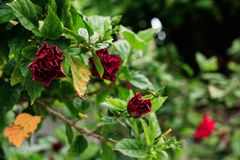 Reihenfolge von roten Rosen lizenzfreies stockfoto