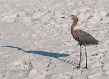 Reiher auf dem Strand lizenzfreie stockfotos