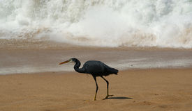 Reiher auf einem sandigen Strand nahe dem Ozean Kerala, Süd-Indien Lizenzfreie Stockfotografie