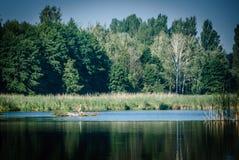 Reiher auf einer Insel von Schilfen auf dem See lizenzfreie stockfotografie