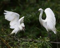 Reiher beben ihre Flügel Stockfotografie