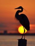 Reiher bei Sonnenuntergang Stockfotos