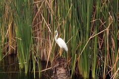 Reiher in den Schilfen auf dem Teich stockfotos