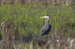 Reiher in den Sumpfgebieten. Lizenzfreie Stockbilder