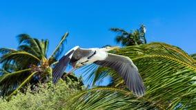 Reiher, der über den Strand in Malediven fliegt stockbild