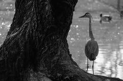 Reiher, der auf dem Ufer stillsteht lizenzfreies stockbild