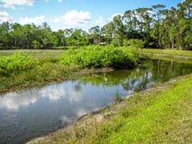 Reiher, der im Sumpf watet stockfotografie