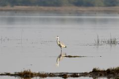 Reiher, der nach Lebensmittel im Sumpfgebiet sucht Stockfoto