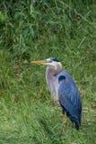 Reiher des großen Blaus im Gras Stockfoto