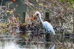 Reiher Egretta thula ist ein sch?ner kleiner wei?er Reiher, hier eine Jagd in der Lagune von Marapendi in Barra da Tijuca Rio de  stockfoto
