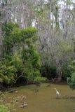 Reiher in einem Zypresse-Sumpf Stockfotografie