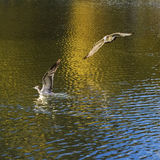Reiher fliegen frei um das Potala-Palast Stockfotos