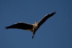 Reiher im Flug gegen einen blauen Himmel lizenzfreies stockbild