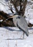 Reiher im Schnee mit dem Schnabel offen Stockfoto